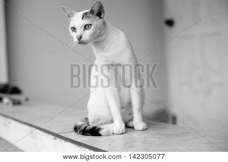 white thai cat looked for something black ans white picture style