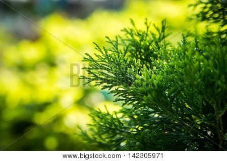 Close-up image of green leaves of thuja on the green blured background