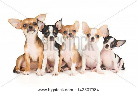 Five cute puppies of Chihuahua isolated on white