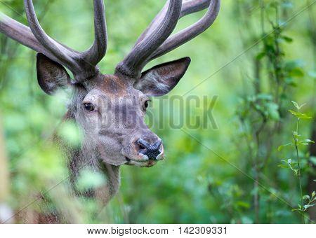 Red Deer Portrait In Forest