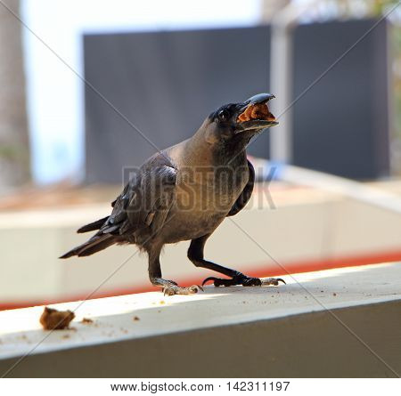 Crow with food on the windowsill. Close up