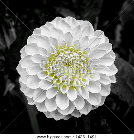 Perfectly formed white dahlia flower with a yellow center on a dark background