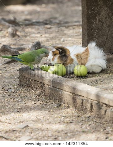 guinea pig and parakeet parrot in the farm