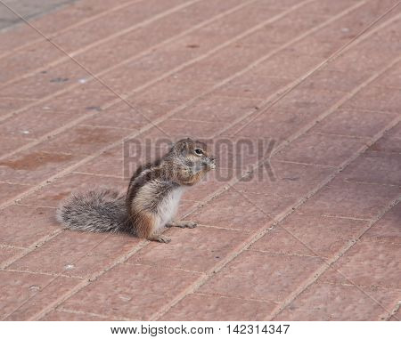 Chipmunk Funny Animal Fuerteventura Island Canarian Islands