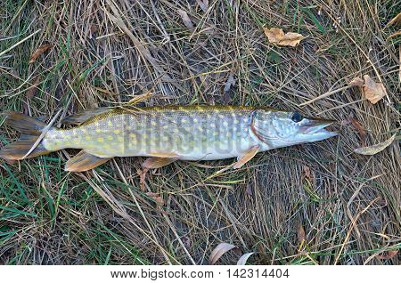 big pike lying on the dry grass