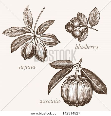 Set of vector images of medicinal plants. Biological additives are. Healthy lifestyle. Arjuna blueberry garcinia.