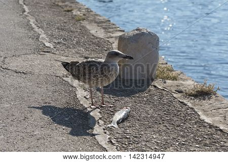 seagull on a stony shore with a fish