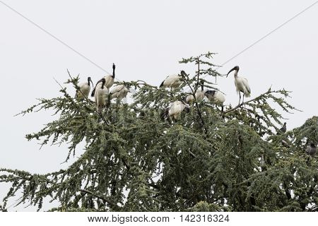 sacred ibis bird on tree in the forest