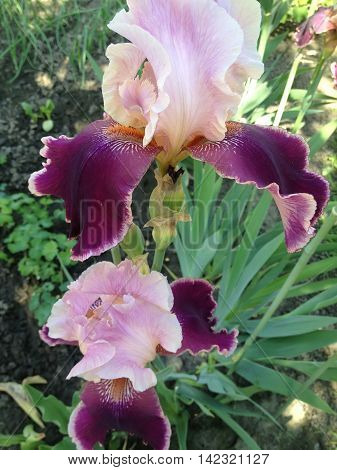 the magic irises bloom in the garden in summer