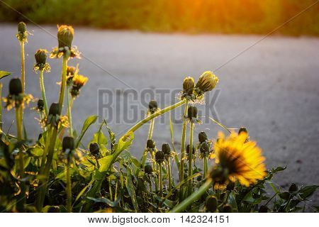 yellow dandelions on the roadside in the last rays of the sun