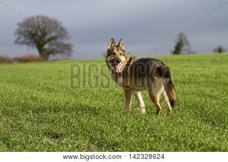 German Shepherd Dog In A Grass Field Against A Dark Sky