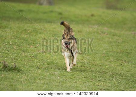 Playful German Shepherd Dog Running On Grass