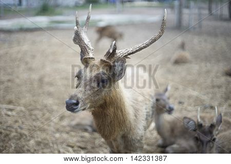 portrait of male deer and beautiful horn with blur background