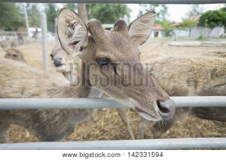 close up face of baby male deer in paddock with blur background