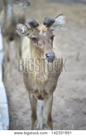 portrait of baby male deer in paddock with blur background