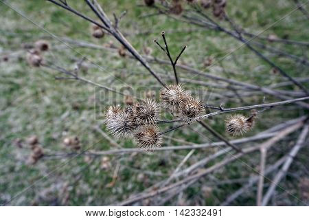 Burrs of a greater burdock plant (Arctium lappa) are ready to attach themselves to the clothing, hair or fur of anyone passing by in Joliet, Illinois during the Spring.