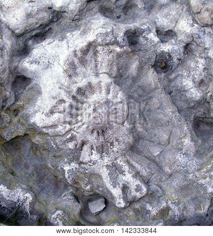 Ammonite Fossil in Rock on Runswick Bay Beach