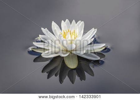 American White Water Lily (Nymphaea odorata) with reflection on a cloudy day - Haliburton Ontario Canada