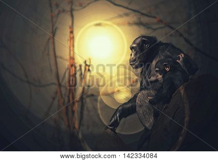 Chimpanzee monkey mother with baby / child at sunset