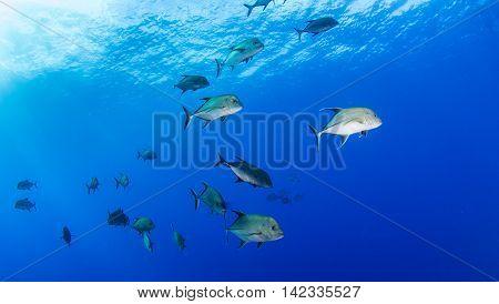 Group of Fish at Islas Revillagigedos, Mexico
