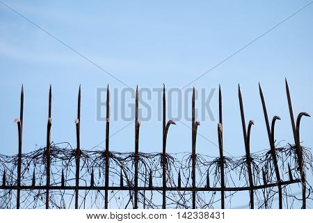 Metal fence and dry climber wiht blue sky background.