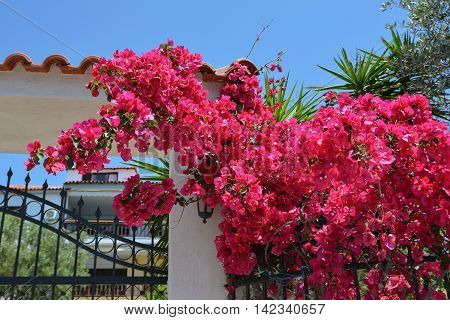 Colorful pink bougainvillea flowers on a fence