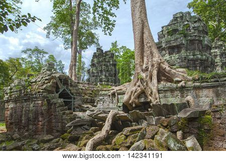 One of the most interesting in Cambodia Banyan tree.