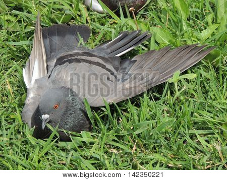 pigeon lies in the grass with an open wing