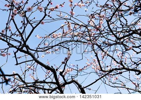 Sakura Blossom branches bright texture blue background