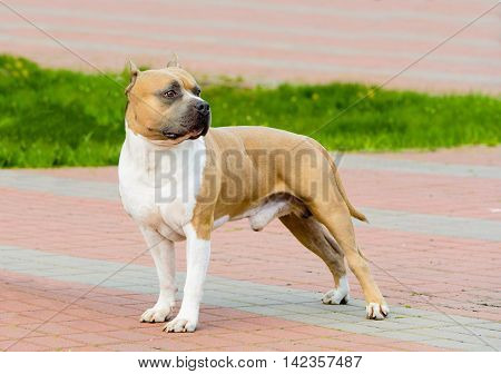 American Staffordshire Terrier on the show.  The American Staffordshire Terrier on the show in park.