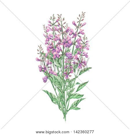 Bouquet of salvia painted in watercolor on white background