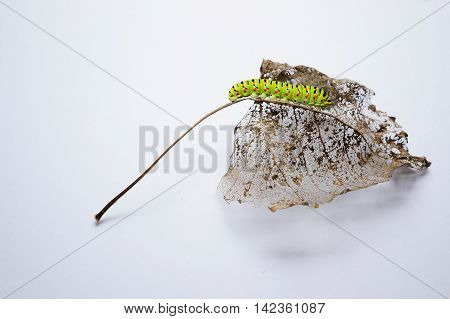 Caterpillar on leaf - the behaviour of insects