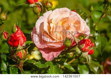 Sankt-St. Petersburg-12.08.2016: the blossomed garden roses and buds after a rain
