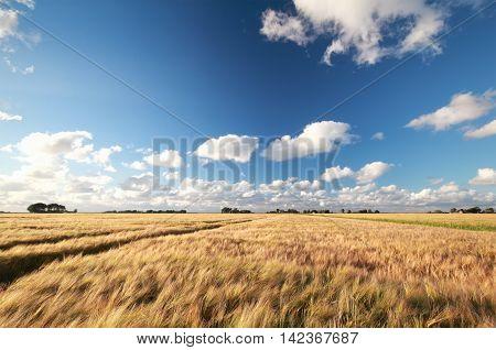 wheat field in warm sunny day Friesland Netherlands