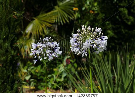 White Allium Flower Head With Dark Garden Background
