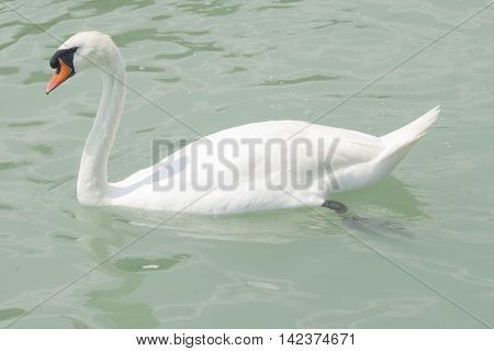 Mute swan swiming in lake Balaton with greenish water close-up portrait selective focus shallow DOF