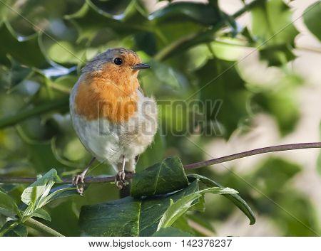Robin On A Stem
