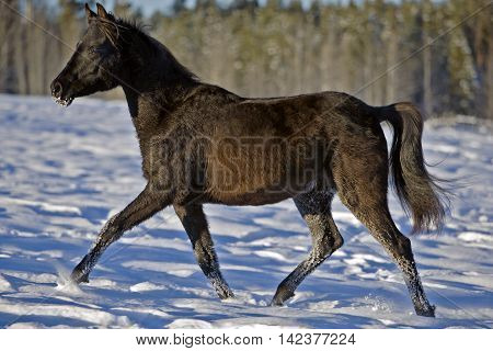 Black Arabian Filly trotting in snow profile