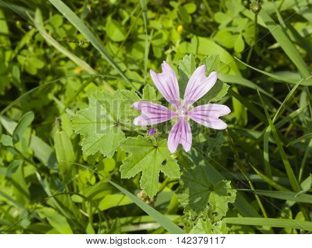 Blooming Common or high mallow Malva sylvestris flower in grass close-up selective focus shallow DOF