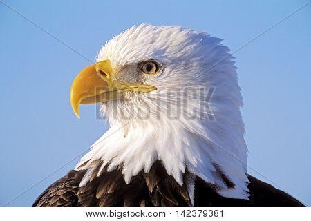 Head of mature Bald Eagle portrait closeup