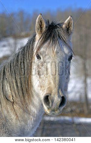 Grey dapple  Arabian Horse in winter portrait