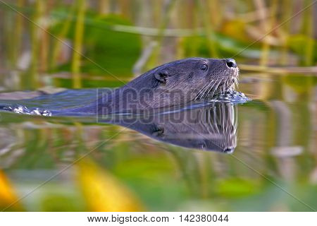 River Otter swimming in lake close up
