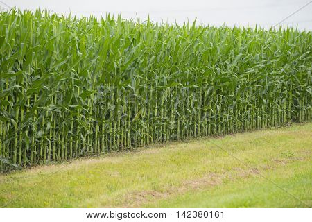 Corn field background green agriculture business midwest