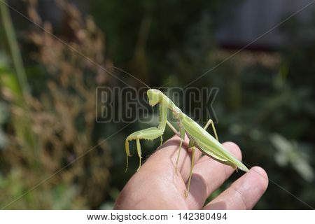 Praying Mantis On Man's Hand.