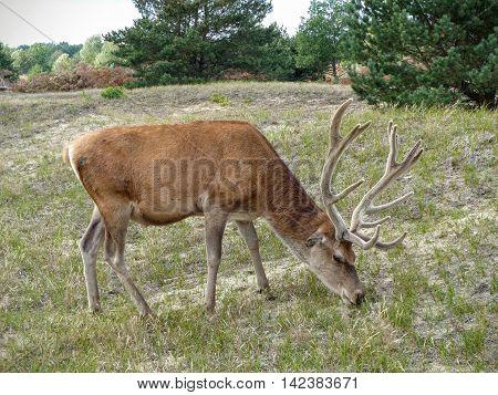 A red deer stag (Cervus elaphus) grazing in a woody pasture