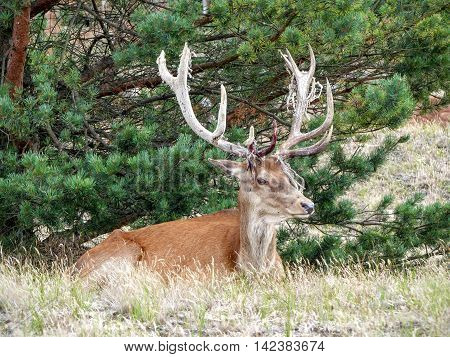 An injured red deer stag (Cervus elaphus) with a broken antler