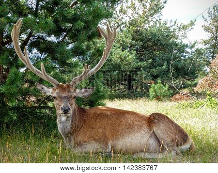 Front view of a red deer stag (Cervus elaphus) with large antlers sitting under a tree