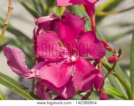 Red flowers of Nerium Oleander on shrub macro selective focus shallow DOF