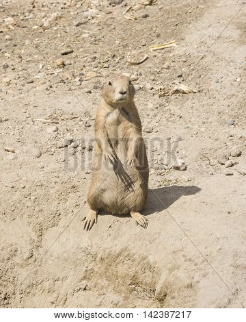 European Souslik or Ground Squirrel Spermophilus citellus standing on dry ground close-up portrait selective focus shallow DOF