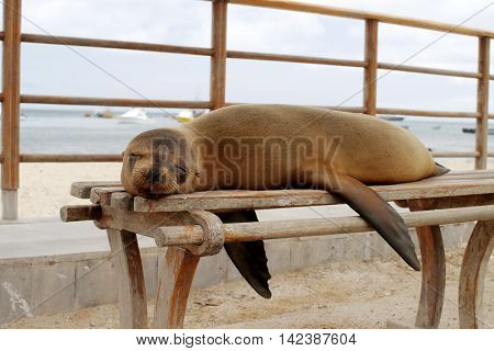 sea lion sleeping on a bench in Puerto Ayora, Santa Cruz Island, Galapagos